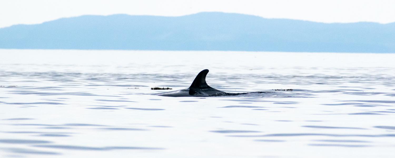 aileron d'une baleine